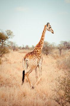 h4ilstorm:  Giraffe (by .dklemans)