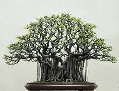 Ficus religiosa or sacred fig is a species of fig native to the Indian subcontinent, south-west China and Indochina. It belongs to the Moraceae, the fig or mulberry family. It is also known as the bodhi tree,[2] pippala tree, peepal tree or ashwattha tree (in India and Nepal).