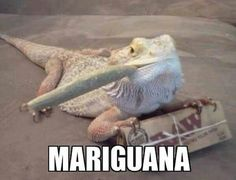 DATS MY KIND OF LIZARD
