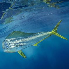 Photo by @BrianSkerry A mahimahi (also known as a dorado fish) cruises quickly just beneath the ocean surface in the offshore waters of the Bahamas.
