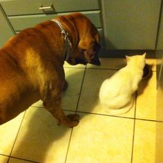 The big dog know the rules, the cat eats first! Big Dogs, Cats, Animals, Gatos, Animales, Animaux, Large Dogs, Animal, Cat