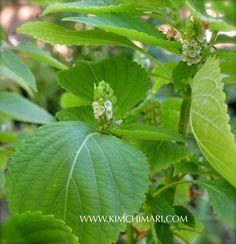 Korean Perilla  leaves for Cabbage Pickle (Kkaetnip Yangbaechoo Chojeolim깻잎 양배추 절임)  | Kimchimari.com