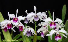 Grupo Orquideófilo del Norte Santafesino: Cattleya purpurata Flowers, Plants, Norte, Group, Food, Plant, Royal Icing Flowers, Flower, Florals