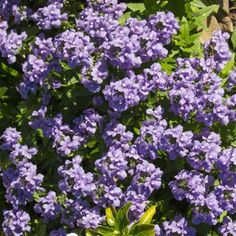 Nemesia hybrid Nemesia Poetry Blue has masses of fragrant purple blue flowers. Perfect for late late winter colour, and will continue flowering well Compost Bucket, Plants Under Trees, Garden Express, Grow Bags, Blue Garden, Planting Flowers, Flowering Plants, Garden Borders, Winter Colors