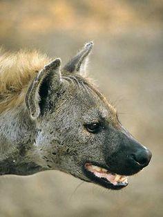 Spotted hyena portrait, Kruger National Park