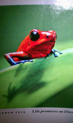 Red and Blue Frog Mon Zoo, Animals Beautiful, Cute Animals, Poison Dart Frogs, Frog Art, Cute Frogs, Frog And Toad, Reptiles And Amphibians, Tortoises