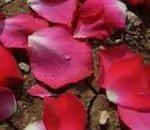 oleolito di rosa