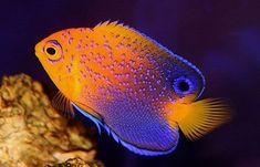 Japanese Angelfish Marine Aquarium Fish, Saltwater Aquarium Fish, Marine Fish, Underwater Creatures, Ocean Creatures, Colorful Fish, Tropical Fish, Aquariums, Beautiful Sea Creatures
