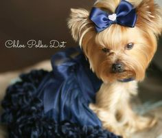Chloe Polka-Dot looks so beautiful in her new dress, and her hair is silky and shiny after her bath with Yorkie Splash and Shine. #yorkie #yorkies #yorkshireterrier