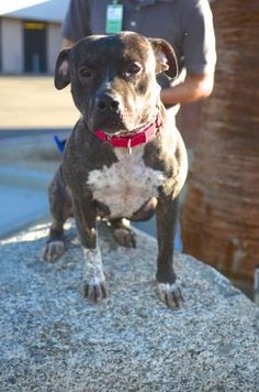 Meet Fiona, 8-31-16, Pit Bull Terrier Dog | Palm Springs, CA | Petfinder.com is…