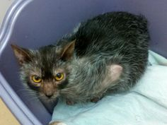 """The creepy little """"werewolf"""" cat known as the new and rare Lykoi breed."""