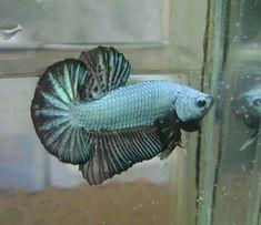 Dragon Betta fish form indonesia betta farm