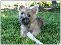4 Dog Puppy Cairn Terrier Greeting Notecards/ Envelopes Set. $6.99, via Etsy.