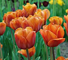 You might easily associate the exotic, almost bronze color of this Triumph Tulip with the Casbah. 'Cairo' is a stand-out alone, but notice how it enhances reds and oranges planted nearby.