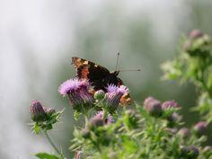 Distels en vlinders ... https://godisindestilte.blogspot.com/2018/06/distels-en-vlinders.html