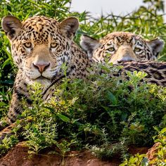 @stevewinterphoto I am working on a @natgeo Jaguar story in the Pantanal of Brazil. Here is a curious cub in front and mom behind. Jaguars are the 3rd largest of the big cats. Found from US / Mexico border to northern Argentina. Jaguars have rebounded in this area where 95% of the land is privately owned. In the past many ranchers would kill the cats when they ate their cattle. Today in this area tourism brings in much more money to the local economy than cattle ranching. So the jaguar…