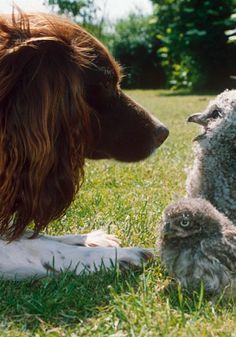This dog is clearly enraptured by what his new friends, the owls, have to say. Listen to the owls, for they are wise.
