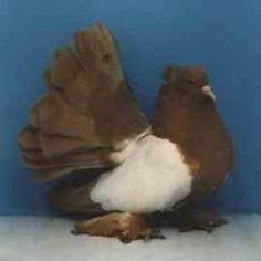 Indian Fantail Pigeons for Sale Fantail Pigeon, Pigeons For Sale, Pigeon Pictures, Pigeon Breeds, Pigeon Loft, Racing Pigeons, Parrot Pet, Red Indian, Beautiful Birds
