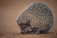 Another cute animal species that is unique to Madagascar, this is the lesser hedgehog tenrec. While they are primarily nocturnal, we found this guy still out at dawn searching for more insects to eat before heading off to bed...