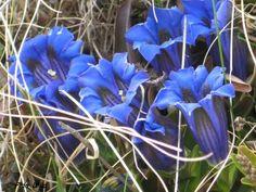 Enzian (Gentiana acaulis). Repinned by www.mygrowingtraditions.com