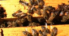 Something is killing the bees that pollinate majority of our fruit and vegetable supply at an increasingly alarming rate; EPA sued for failing to ban chemicals