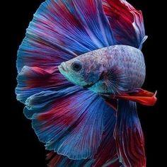 No photo description available. Pretty Fish, Cute Fish, Beautiful Fish, Animals Beautiful, Colorful Fish, Tropical Fish, Betta Fish Types, Underwater Art, Fish Wallpaper