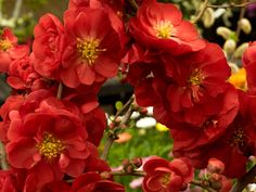Absolutely fabulous Scarlet Storm Flowering  Quince (Chaenomeles speciosa) Thornless, fruitless, deer resistant. Not too big 4 foot tall and wide. Blooms in early spring and is a great cut flower. Blooms on the new wood so prune if needed right after flowering. Can be trained into an espalier.