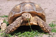 Russian Tortoise Diet Guide / Helpful Tips And Tricks Baby Tortoise, Sulcata Tortoise, Tortoise Care, Giant Tortoise, Tortoise Habitat, Tortoise Enclosure, Easy Pets, Russian Tortoise, Pet Turtle