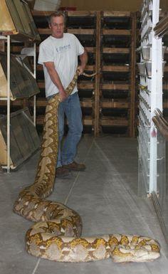 Big blond reticulated python female