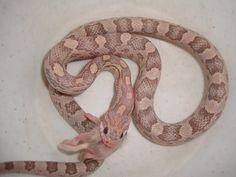 Výsledek obrázku pro sunkissed lavender corn snake
