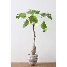 ぼってり太った塊根、ゆるキャラをさらにユルくしたような葉っぱ、サンゴみたいな花、見どころ満載と思いきや冬には落葉して枝だけのシュールな姿に。飽きさせないよねー.サンゴアブラギリ(ヤトロファ)/ Jatropha podagricahttps://goo.gl/0WW6iz#ayanas #plants #caudex #アヤナス #観葉植物 #塊根植物 #植物のある暮らし #暮らしを彩なす植物