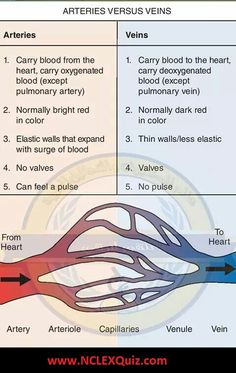 Arteries vs Veins Anatomy: Structure and Function of Blood Vessels - NCLEX Quiz Function Of Blood, Structure And Function, Heart Structure, Heart Function, Skin Structure, Blood Vessels Anatomy, Arteries Anatomy, Heart Diagram, Heart Anatomy