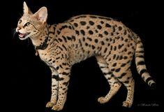Savannahs is a breeder of Savannah Cats. Savannah Kittens For Sale. World record tallest cat. Gatos Serval, Serval Cats, Savannah Kittens For Sale, Savannah Chat, Domestic Cat Breeds, Exotic Cats, Exotic Fish, Cat Enclosure, Reptile Enclosure
