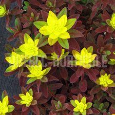 image de Euphorbia polychroma Bonfire Photos, Flowers, Gardening, Image, Gardens, Flower Colors, Rock Shower, Yard, Plants