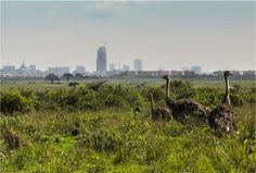 Ostriches at the edge of the Nairobi National Park (Kenya), a wildlife preserve next to a major metropolitan area : pics