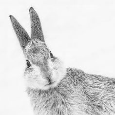 British Nature in Black and White Highly Commended. Mountain Hare, Cairngorms National Park, Scotland, Gillian Lloyd.