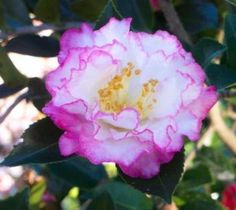 October Magic® Inspiration Sasanqua Camellia