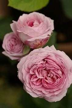 English Shrub Rose: Rosa 'Lilac Rose' (U.K., 1990)
