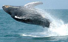 Baleia-jubarte nas águas de Abrolhos, Bahia