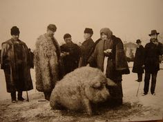 This video from 1931 shows Mangalitsa pigs in Hungary. It reminds me of these photos of a modern farm in Hungary - and these Spanish vid. Wooly Pig, Sheep Pig, Wooly Bully, Mangalitsa Pig, Farm Animals, Cute Animals, Hungarian Dog, Vintage Photo Album, Pig Family