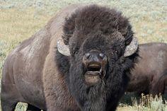 Yellowstone National Park Animal Attacks | ... Buffalo Traffic Jams: Bison of Yellowstone National Park [55 PICS