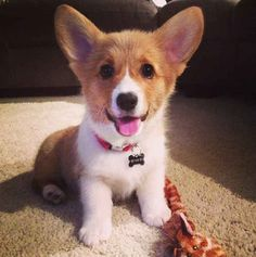 'Grams taken later show that she got unstuck. | The 25 Cutest Corgi Puppies Currently Online