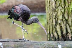 Brūnais ibiss, Tõmmuiibis e. läikiibis, Plegadis falcinellus