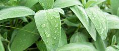 Salbei – wunderbar gegen Entzündungen, lindert Kopfschmerzen und wirkt Wunder…