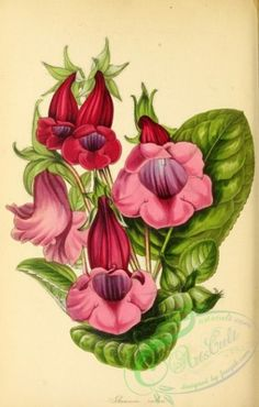 flowers-27013 - Red-flowered Gloxinia, gloxinia rubra [2820x4418]  botanical 17th pre-1923 high download art masterpiece blooming free flowers printable flower instant domain 18th century pages nice flora naturalist old 300 dpi natural 1700s pack picture transfer clipart illustration Graphic Victorian royalty vintage supplies scan digital scrapbooking Edwardian ornaments 1800s decoration ArtsCult.com Artscult wall collection qulity lithographs plants use engravings beautiful Paper public…
