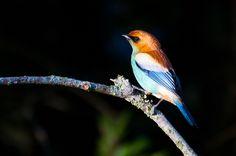 Foto saíra-preciosa (Tangara preciosa) por Ivan Angelo | Wiki Aves - A Enciclopédia das Aves do Brasil