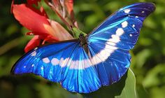The Helena Morpho: Morpho helena Beautiful Butterfly Pictures, Beautiful Butterflies, Beautiful Birds, Pretty Pictures, Morpho Butterfly, Butterfly Cards, Butterfly Wings, Butterfly Project, Flying Flowers
