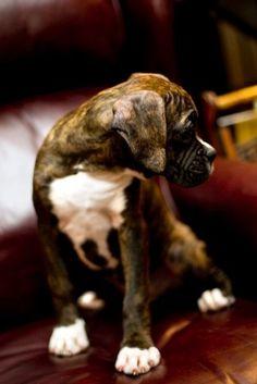 boxer puppy   H U M A N™   нυмanACOUSTICS™   н2TV™