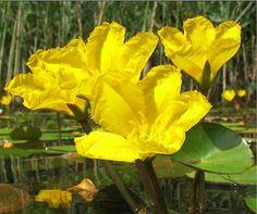 3X Nymphoides peltata Yellow floatingheart Marginal Water Bog Pond Plant