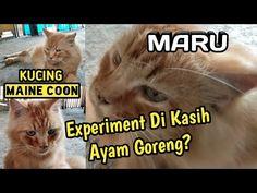 Experiment Kucing Maine Coon Di Kasih Ayam Goreng? - YouTube Maine Coon, Experiment, Youtube, Youtubers